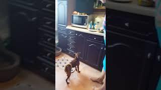 Собаки. Дрессированные собаки. Учёный пти-брабансон. 😉 Мы старались! 8 мес.