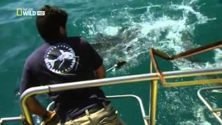 Sharkville   Die Bucht der weißen Haie   Doku über weisse Haie in HD Teil 3