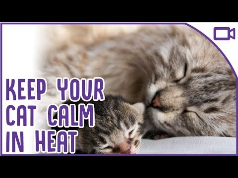 How To Calm A Cat In HEAT - Top Tips!