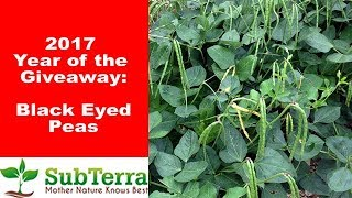 why black eyed peas are another must grow for the garden and homestead giveaway video