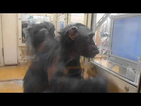 Behind Inversion Effect in Chimpanzees