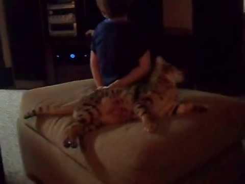Bengal Cat Attacks Boy