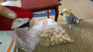 Sultan Papağanı Konuşması 1