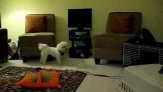 Puppywar Mini Schnauzer Vs Bichon Frise