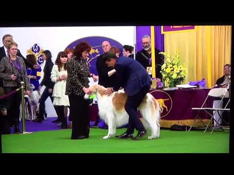 142nd Westminister Dog Show Borzoi Judging