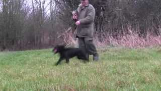 Cocker Spaniel Gundog Training