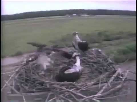 Osprey Chick Practices Flapping at Blackwater NWR