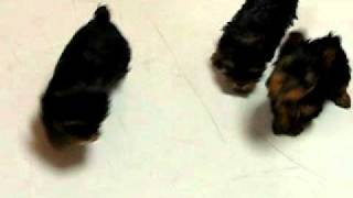 Yorkshire Terrier,puppies, For, Sale, In, San Jose, California, Ca, Ontario, Santa Rosa
