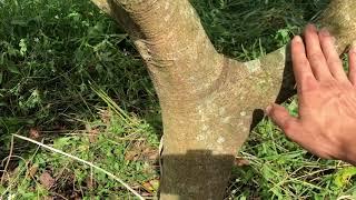Một số sai lầm khi ghép Bơ cải tạo - Kỹ thuật ghép Bơ 034 đầu dòng nhanh cho trái nhất| Chungfarm