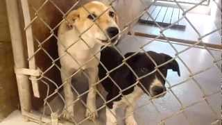 3 Mo Old Pointer/beagle Mixes At Pacc.mp4