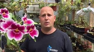 ORCHID CARE:  HOW TO REPOT A MILTONIOPSIS ORCHID WITH ROTTEN ROOTS IN BLOOM 1080p