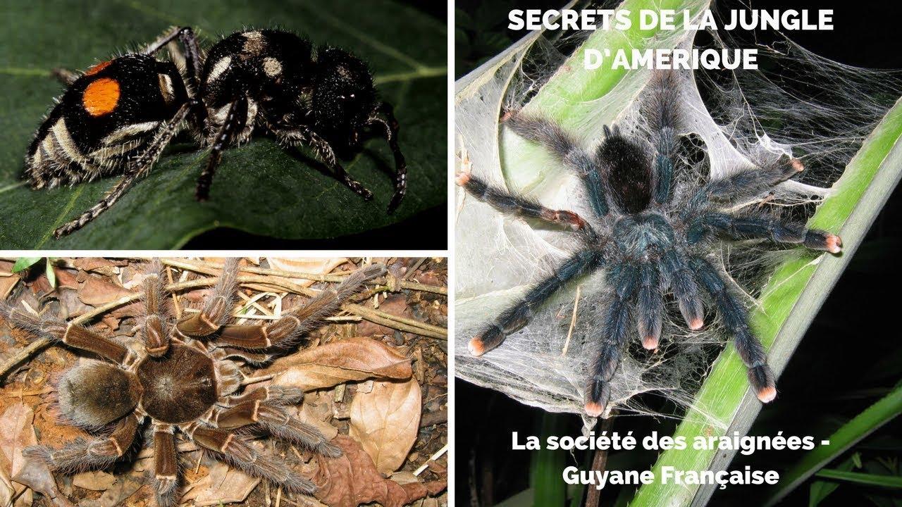La société des araignées – Guyane Française, les Anelosimus. Maxresdefault