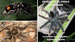 La société des araignées - Guyane Française, les Anelosimus (cousines des veuves noires)