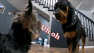 How do Rottweilers get along with small dogs and other animals? Rottweiler Vs Yorkie!