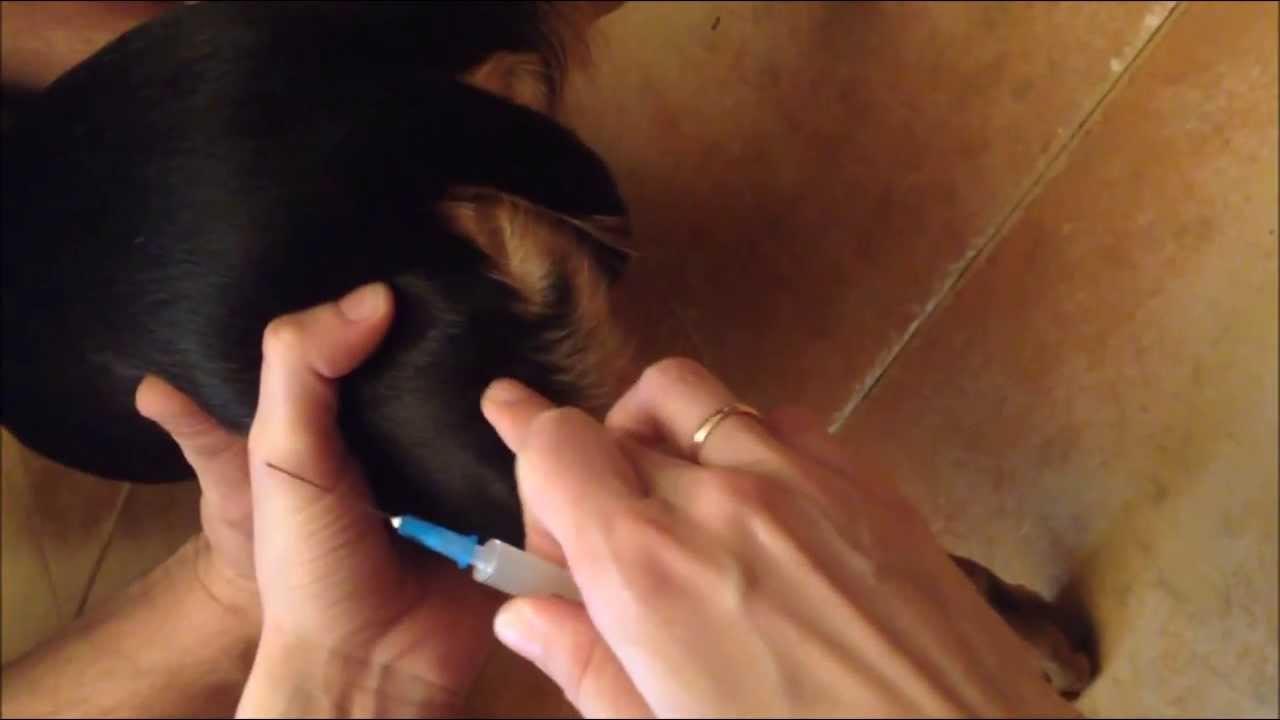 Как собаке сделать внутримышечный укол видео