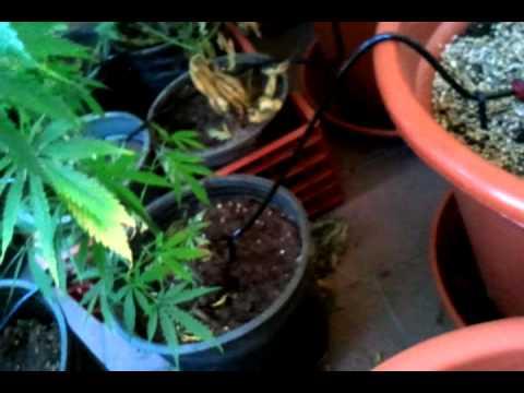 Instalaci n de goteros de riego marijuana youtube - Tuberias de riego por goteo ...