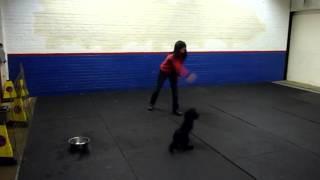 Ashdale Dog Training : Billy Plenderleith : Puppy Retriever Training : Lrrss