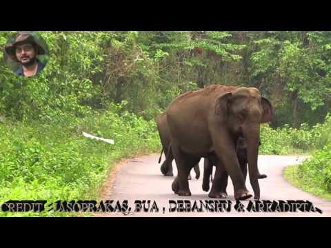 Elephants of Chapramari Forest.