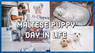 A Day In The Life Of A Maltese Dog | #PuppyVlog