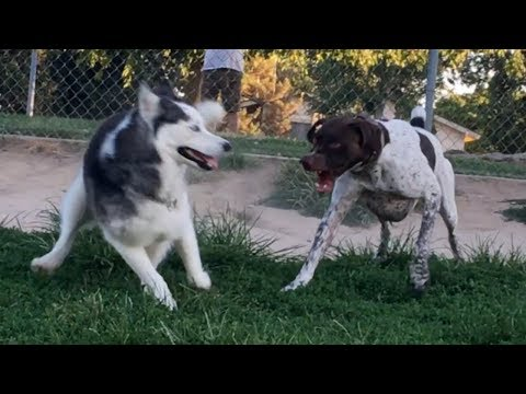 Husky Hassled German Shorthaired Pointer for Months & Finally got TOLD