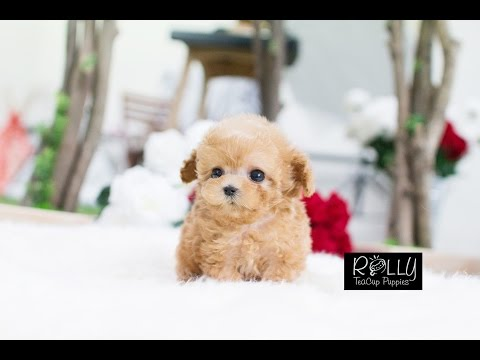Adorable Cream Poodle True Doll Face :D Uggi - Rolly Teacup Puppies