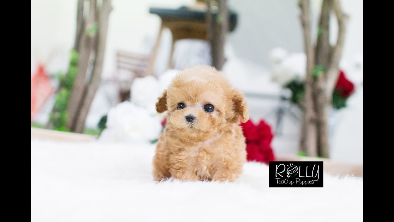Adorable Cream Poodle True Doll Face D Uggi Rolly Teacup Puppies