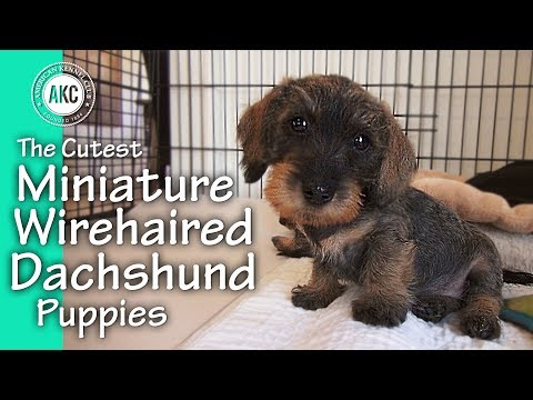 The Cutest Miniature Wirehaired Dachshund Puppies