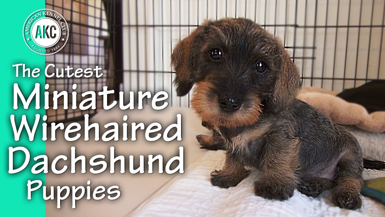 The Cutest Miniature Wirehaired Dachshund Puppies - YouTube