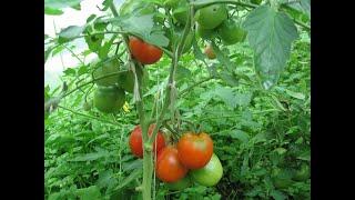 Формирование томатов в теплице, нас затопило!
