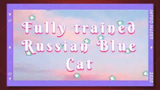 Russian Blue Cat fully trained!