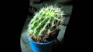 видео как ухаживать за кактусом в домашних условиях