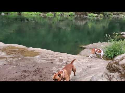 Staffordshire Bull Terriers at playing
