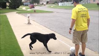 Tulsa Dog Training - White German Shepherd & Lab
