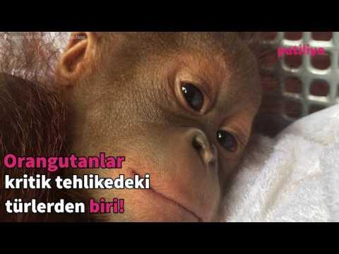 Palm yağı üretimi orangutanların yaşam alanlarını yok ediyor!