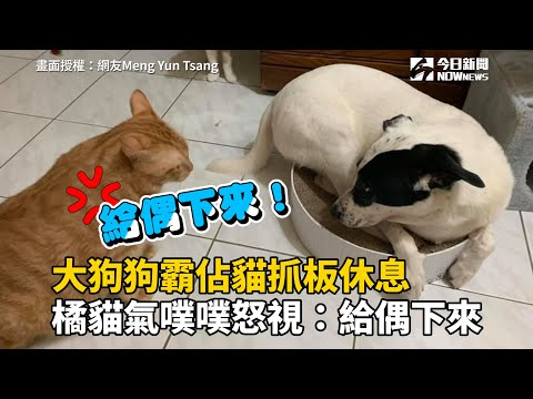 大狗狗霸佔貓抓板休息 橘貓氣噗噗怒視:給偶下來