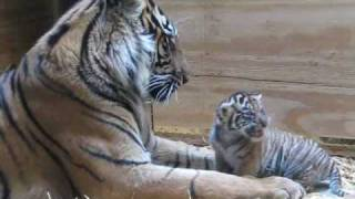 Tiger Cub Day 30 - Grooming by Mom