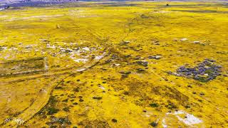 Southern California super bloom of orange and yellow covering fields