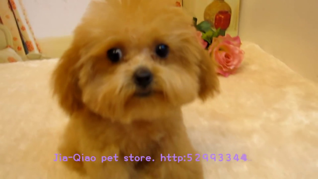 Big Teacup Poodle 003 Singapore Pocket Poodle Super
