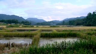 Pockets of fisheries amidst paddy fields: Ziro Agriculture