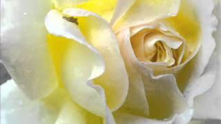 Pale Yellow Rose (original)
