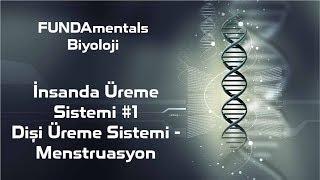 İnsanda Üreme Sistemi #1 Dişi Üreme Sistemi - Menstruasyon
