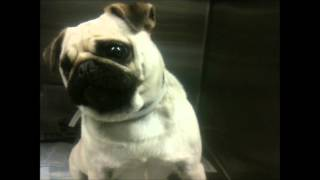 Pugs : A Very Happy And Excited Pug At A Dog Shelter : Pug For Adoption