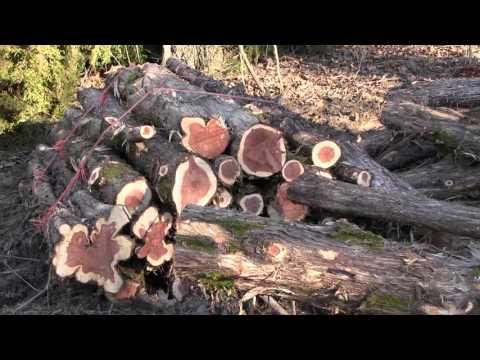 Cedar Trees: Friend or Foe?