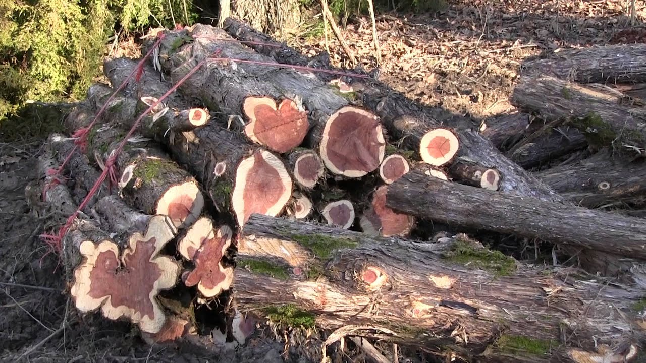Cedar Trees Friend Or Foe Youtube
