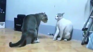 Драки котов! Блиц подборка кошачьих драк