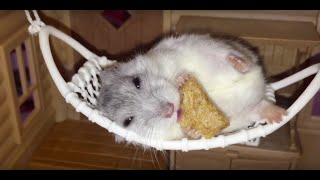 Ham in ham: Happy Hamster loves lounging in her hammock!