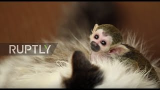 Russia: Cat adopts tiny baby squirrel monkey rejected by his mother