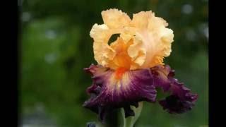 Магия цветов. Ирисы. Моя дача
