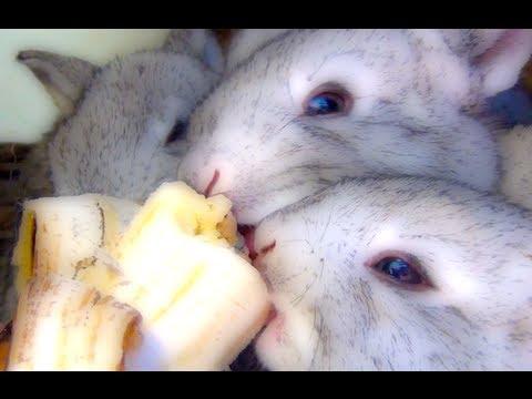 Really Cute Baby Bunny Rabbits Pets Eating Bananas