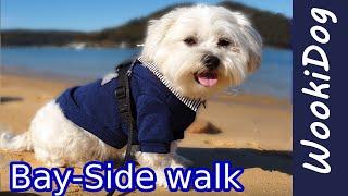 Cute Maltese Shih Tzu WookiDog BaySide adventure  4K Dog walking video